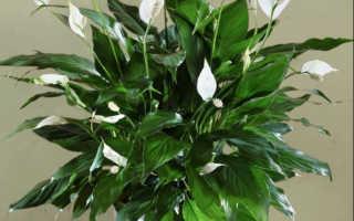 Мужские цветы в горшках фото и название