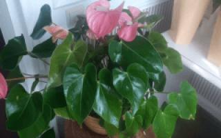Мужской цветок в горшке название